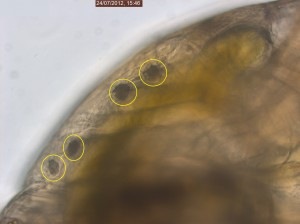 Patch structures of spores on the carapax of Simocephalus sp. (early stage of infection?) 20X objective